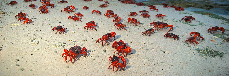 Christmas Island Red Crab Migration   Christmas Island