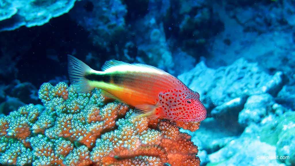 1585-Freckled-Hawkfish-at-Flying-Fish-Cove-Shorey-diving-Christmas-Island-DPI-1585