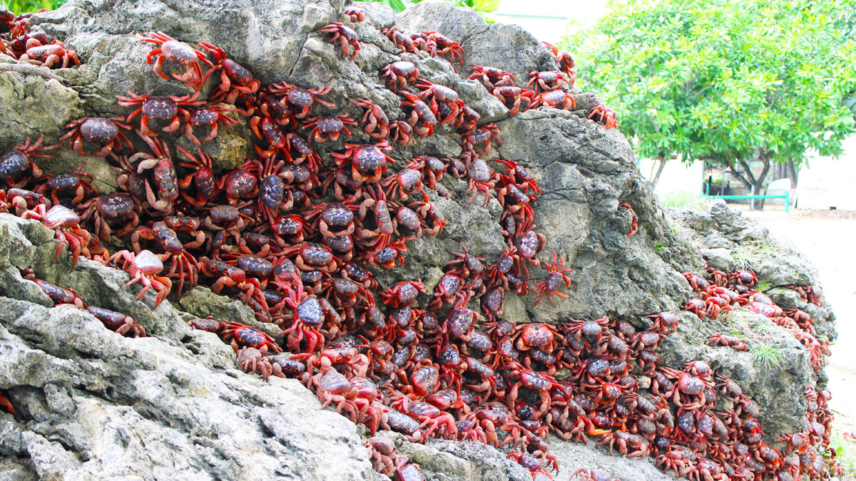 2564 Red Crab Migration waiting for the right time at Christmas Island DPI 2564 1