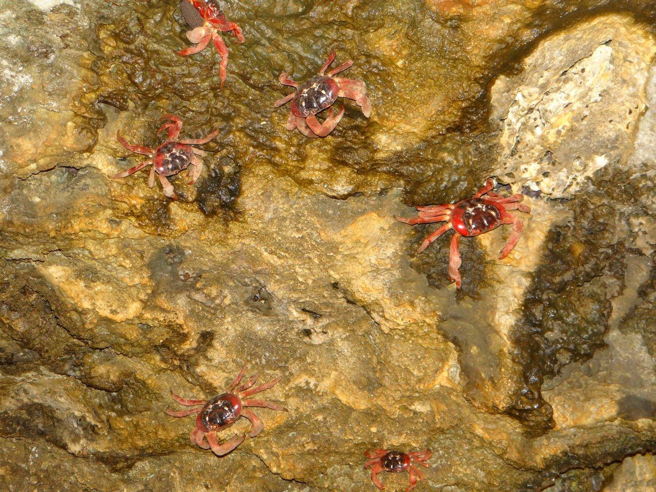 The red crabs commence their annual migration on Christmas Island