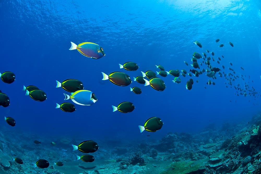 Black-Triggerfish---Mathieu-Meur