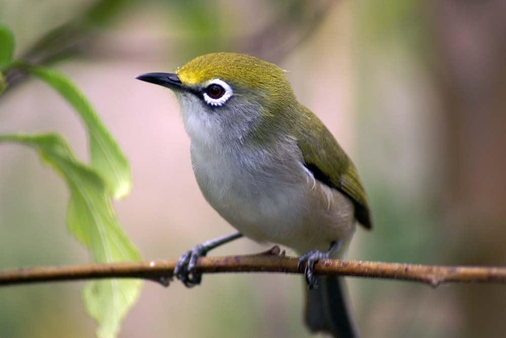 CI-White-Eye---Philip-Cash
