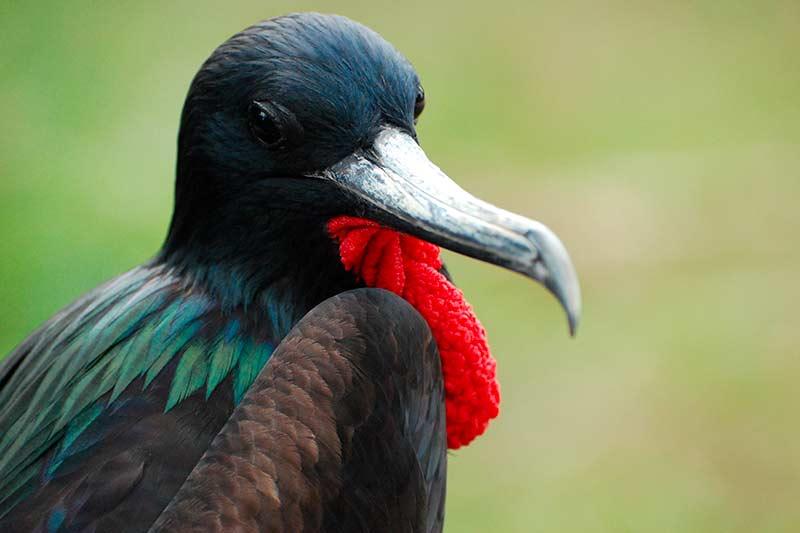 Lesser Frigate - Christmas Island birds