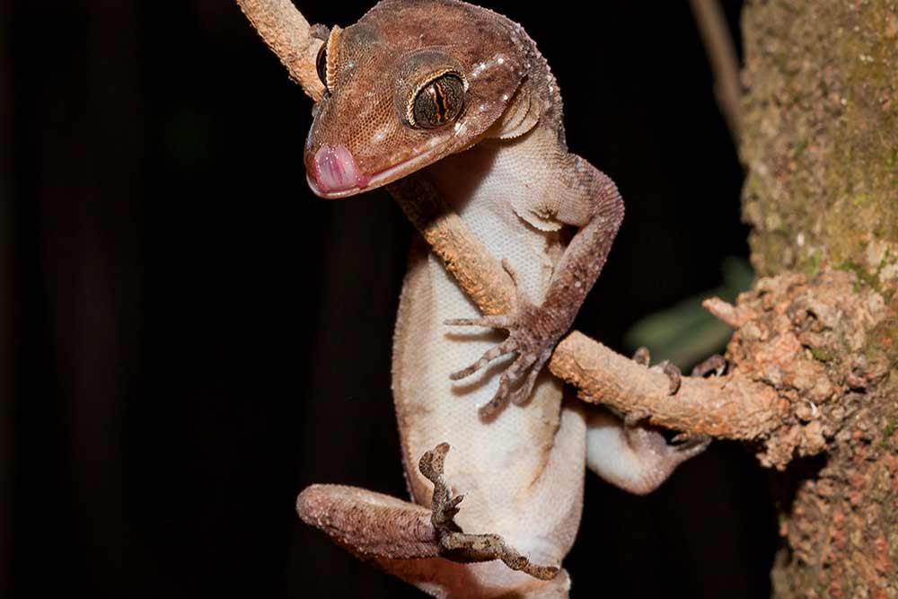 Gecko---Yvonne-McKenzie