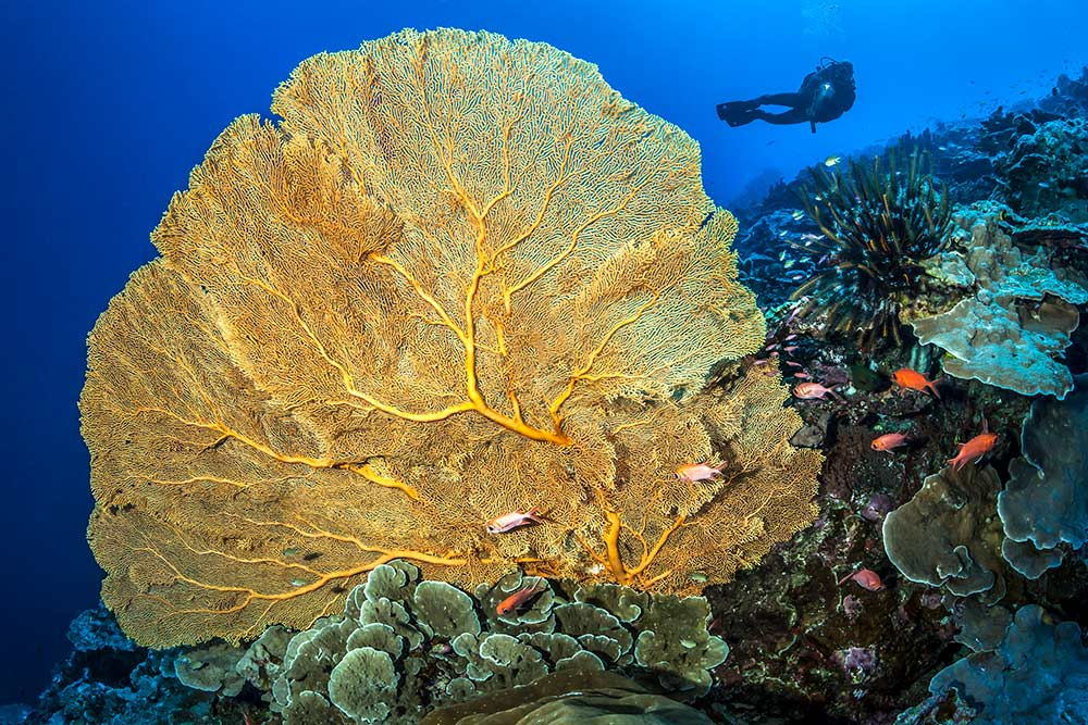 Gorgonian-Fan---Tobias-Friedrich