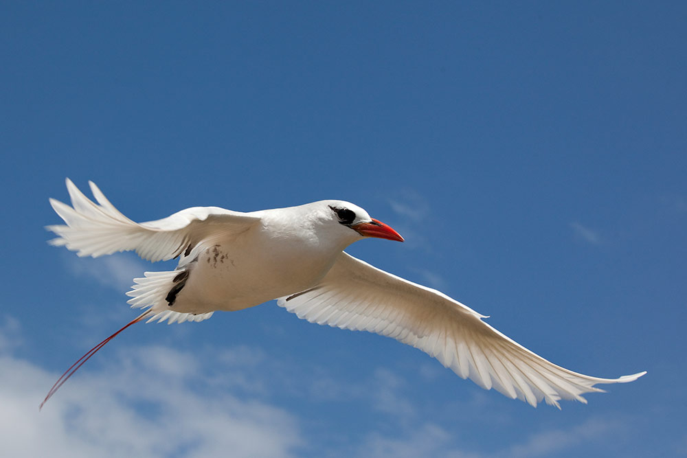 Red-Tailed-Tropicbird---Alex-Cearns