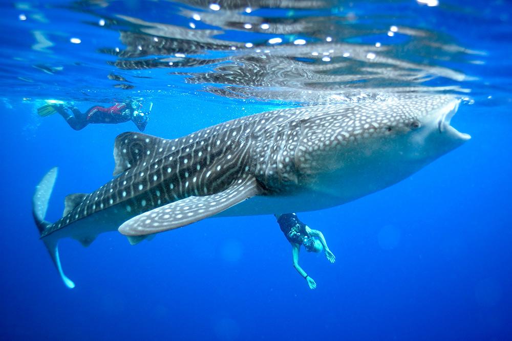 Whaleshark---Gunter-Noack