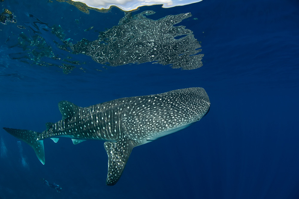 Whaleshark-Reflection---Mathieu-Meur