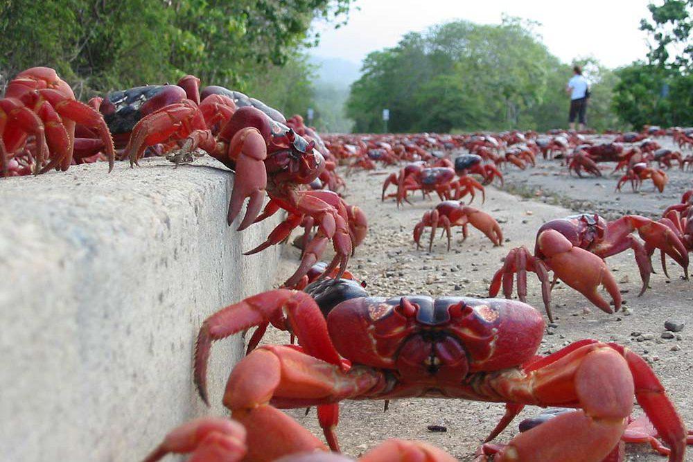 road-crabs---Di-Masters