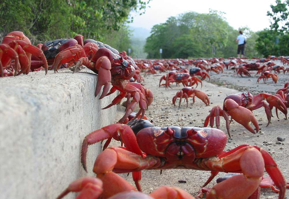 Christmas Island Red Crab.Christmas Island Red Crab Migration Christmas Island